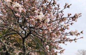 桜開花しました🌸