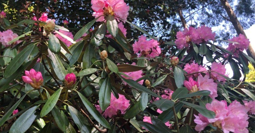 石楠花と新緑