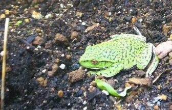 珍しいカエルが現れました!
