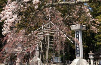 奥の院前も桜が開花しました🌸