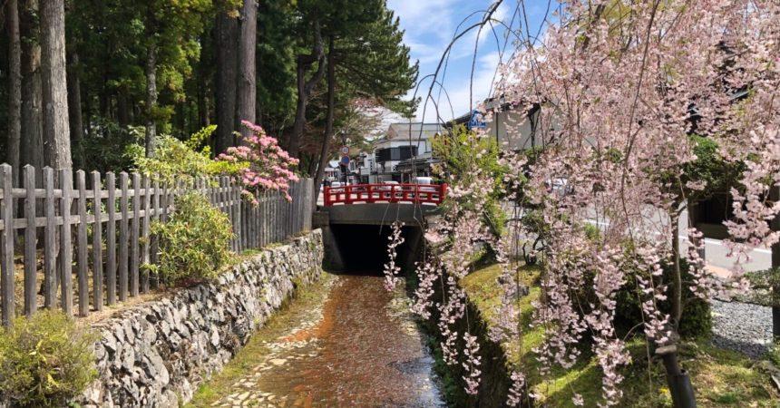 金剛峯寺前 枝垂れ桜🌸