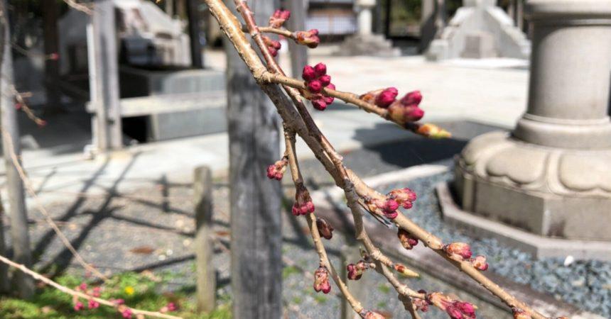 桜の蕾が膨らんできました🌸