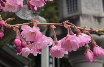 枝垂れ桜が、風に揺れています🌸