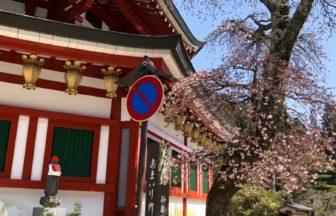 高野山のあちこちで、桜が咲いています🌸